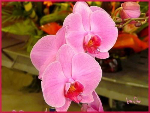 orchidée rose.jpg